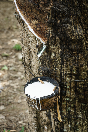 Harvested raw latex from rubber tree