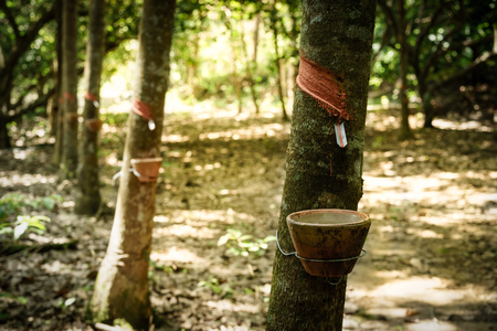 harvested: Harvested raw latex from rubber tree