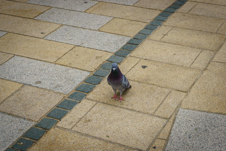 The pigeon walk along the path