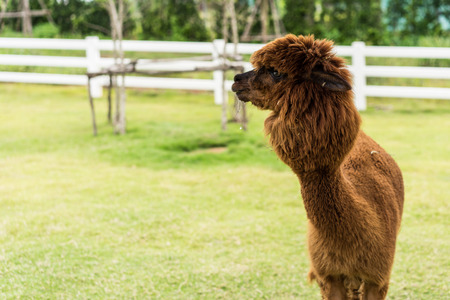 Brown Alpaca on grass field background