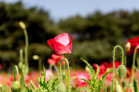 Red Poppy flower, selective focus with blurred background