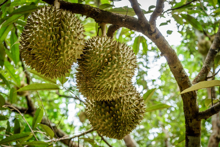 Fresh durian on tree, King of fruit in Thailand