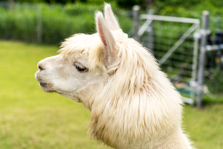 White Alpaca on grass field background, closeup shot