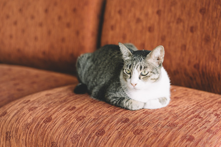 A Thai cat with gray and white color resting on the red sofa