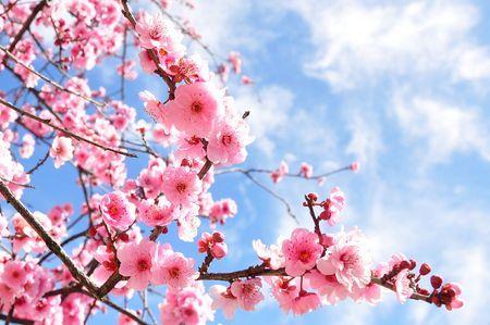street corner: Cherry Blossoms on a street corner
