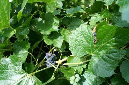 Grape Vine with a few grapes Stok Fotoğraf