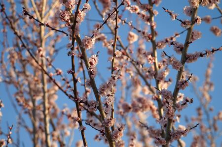 apricot tree blooming