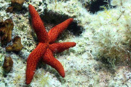 Red Starfish (Enchinaster sepositus).