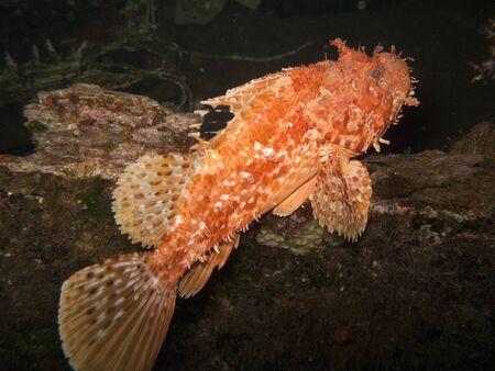 Escorpión rojo pescado (Scorpaena scrofa) Foto de archivo - 62427627