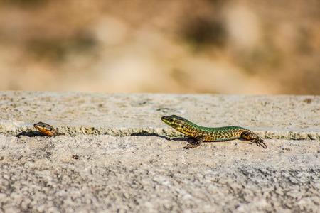 두 마리의 도마뱀