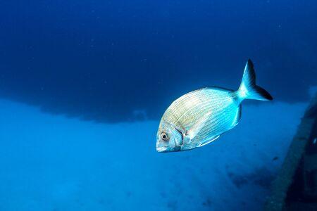 Annular Sea Bream (Diplodicus annularis)