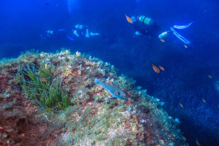 A Parrot Fish(Sarisoma cretense) on a reef with divers in the background.