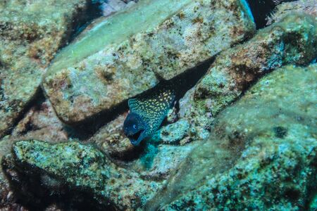 A Juvenile Moray Eel (Muraena helena)