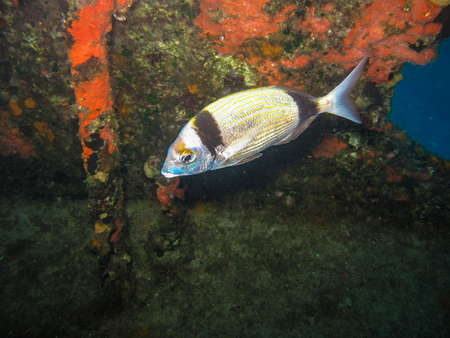 A Two Banded Bream