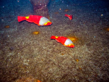 Parrot Fish Grazing a Wreck