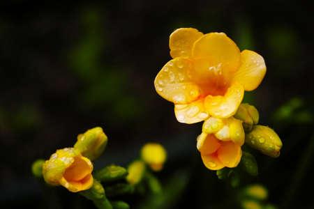 freesia: Freesia blooming Stock Photo