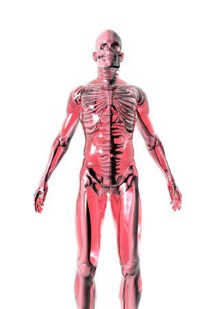 anatomically: Anatomically correct 3D model of human body isolated on white background.