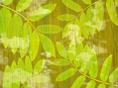 ash: Branches of a mountain ash on an abstract green background