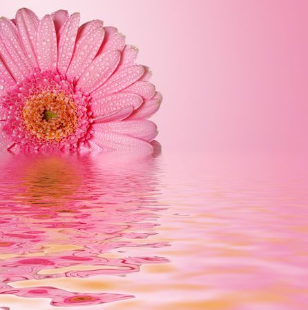 Pink daisy head reflecting on a water