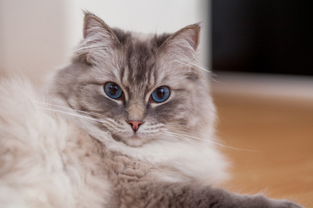 ragdoll cat on floor at home Stock Photo