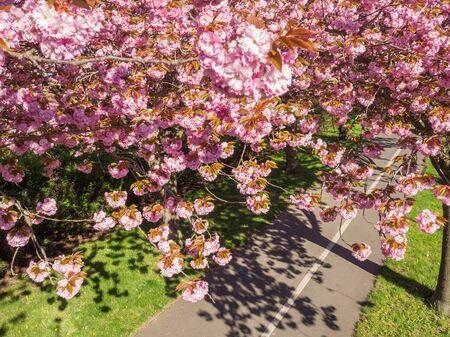 피는 아래 보도 봄에 일본 꽃 벚꽃
