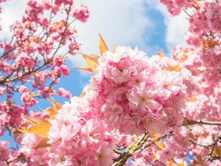 cherry blossom at kanzan flowering cherry tree Stock Photo