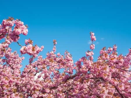 푸른 하늘이 벚꽃 나무 스톡 콘텐츠