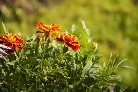 tagetes: Tagetes flowers in orange, yellow and red with garden background