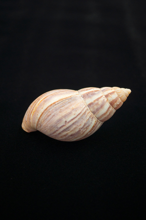 invasive: The great snail shell Stock Photo