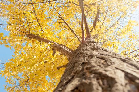 golden: The golden ginkgo tree Stock Photo
