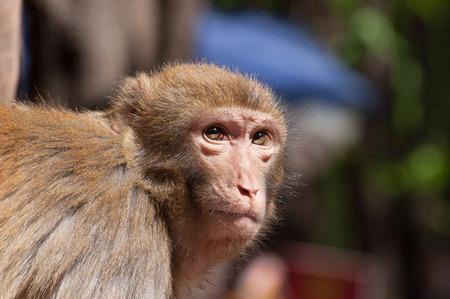 Lushan monkey