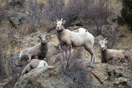 Herd of Rocky Mountain Bighorn Sheep