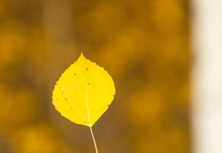 Single aspen leaf with blurred background