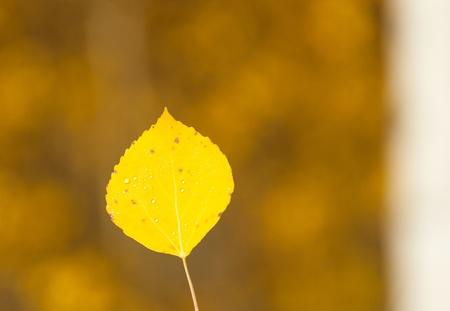 Single aspen leaf with blurred background