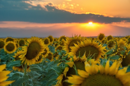 Big sunflowers in a field at sunset Stock Photo
