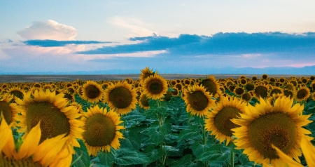 Beautiful rows of sunflowers in a field at dusk