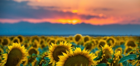 Sunflower field goes on forever at sunset Stock Photo