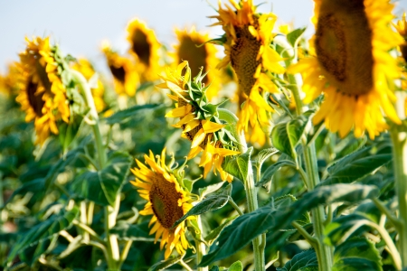 Closeup of sunflowers in a field Stock Photo