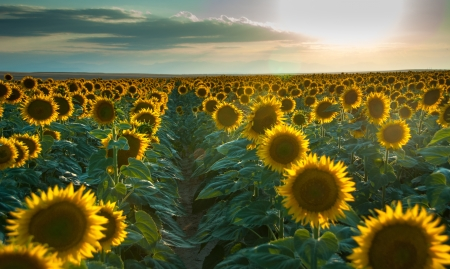 Rows of large sunflowers in a field at sunset