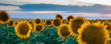 philliprubino: Large sunflowers in a field at dusk