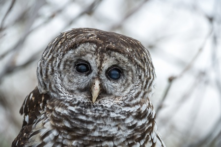 Barred Owl face close up