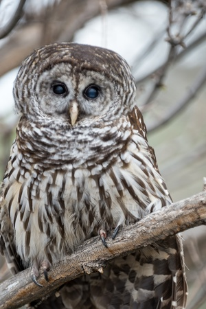 chasing tail: Barred Owl perched on a  branch