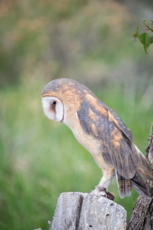 chasing tail: Barn Owl perched on a tree stump Stock Photo