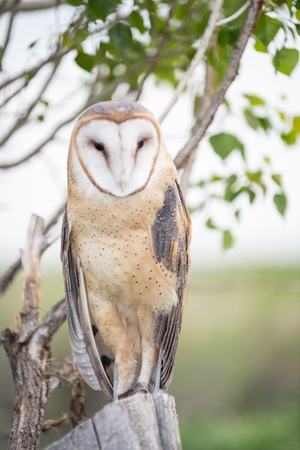 Barn Owl looking on from a tree Stock Photo