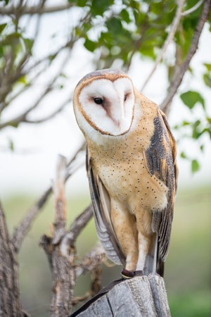 Barn Owl looking around from a tree