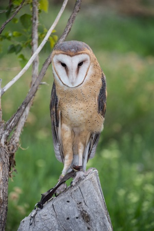chasing tail: Barn Owl staring from a tree stump