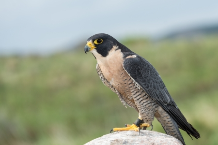 peregrine: Peregrine Falcon looking to the left perched on a rock Stock Photo