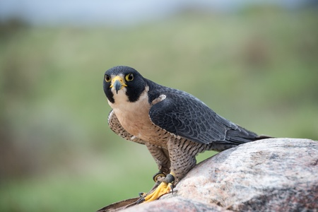 Peregrine Falcon on a rock looking ahead Stock Photo - 22420426