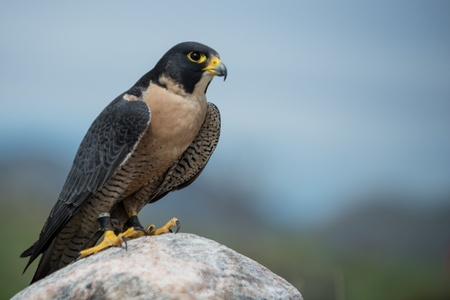 Peregrine Falcon looking to the right