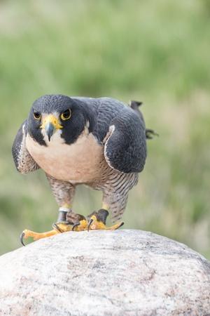 Peregrine Falcon looking straight ahead Stock Photo - 22420429